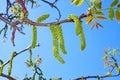 Walnut flowering