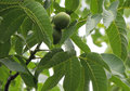Walnut fruits of are on a tree Royalty Free Stock Image