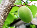 Walnut green hanging on a tree Royalty Free Stock Images