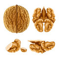 Walnut nut with shell Royalty Free Stock Photos