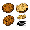 Walnut nuts vector hand drawn illustration. Artistic colorful sketch food objects