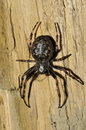Walnut orb weaver spider nuctenea umbratica on fence post Stock Photos