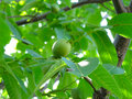 Walnut-tree Royalty Free Stock Photo