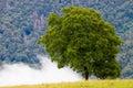 walnut-tree Royalty Free Stock Photo