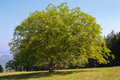 Walnut tree Stock Photos