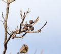 Walnut tree with bare branches Royalty Free Stock Photo