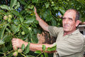 Walnut tree with farmer old in bulgaria checking his crop Royalty Free Stock Photo