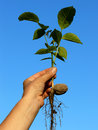 Walnut tree seedling hand holding small Royalty Free Stock Image