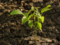 Walnut tree seedling small growing Stock Photos