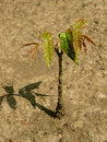 Walnut tree seedling small after rain Stock Photos