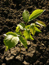 Walnut tree seedling small in sunny day Stock Images