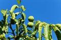 Walnuts on the tree unripe nuts hanging a walnut juglans regia Stock Photo