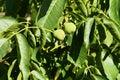 Walnuts on the tree unripe nuts hanging a walnut juglans regia Royalty Free Stock Photography