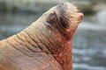 Walrus detail the of adult atlantic Royalty Free Stock Photography