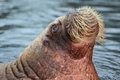 Walrus the detail of adult on the water surface Royalty Free Stock Images
