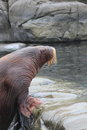 Walrus odobenus rosmarus climb on rock Stock Images