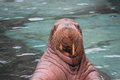 Walrus odobenus rosmarus climbing from water Stock Photo