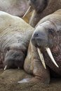 Walrus rookery barents sea region Stock Image