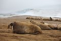 Walrus rookery franz josef land Royalty Free Stock Photography