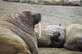 Walrus rookery franz josef land Royalty Free Stock Photos