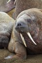 Walrus rookery franz josef land Royalty Free Stock Image