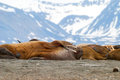 Walruses lying on the shore in svalbard norway arctic Stock Image