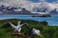 Wandering Albatross Couple