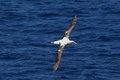 Wandering albatross diomedea exulans gibsoni at australia Stock Photos