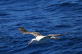 Wandering albatross diomedea exulans gibsoni at australia Royalty Free Stock Images
