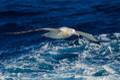 Wandering Albatross At Sea