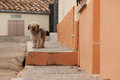 Wandering shaggy dog ​​wandering on a city street Stock Photography