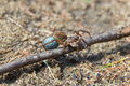 Wandering spider with blue cocoon Stock Images