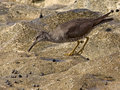 Wandering Tattler Royalty Free Stock Photo