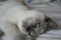 Want to indulge beautiful blue eyed kitten wants play and slyly looks at owner Stock Photo