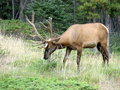 Wapiti 1 Royalty Free Stock Photo
