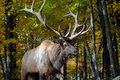 Wapiti Royalty Free Stock Photo