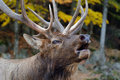 Wapiti Stock Photo