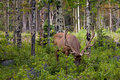 Wapiti Bull Grazing Stock Photos
