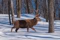 Wapiti walking the wood in winter Royalty Free Stock Photo