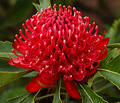 Waratah flower Royalty Free Stock Images