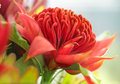 Waratah flower Royalty Free Stock Photo