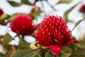 Waratah flower-heads in full bloom Royalty Free Stock Photo