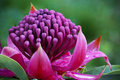 Waratah Telopea 'Shady Lady' Royalty Free Stock Image