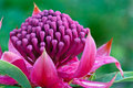 Waratah (Telopea 'Shady Lady') landscape view Stock Images
