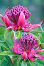 Waratah (Telopea 'Shady Lady') two blooms Royalty Free Stock Photo