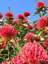 Waratah Tree Royalty Free Stock Photo