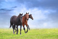 Warm blooded horses on field blue sky background three Royalty Free Stock Image