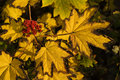 Warm light on yellow leaves and berries Royalty Free Stock Photography