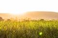 Warm summer wheat, paddy fields