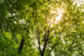 Warm Sunlight Through Green Tree Canopy Leaves Nature Outdoors P Royalty Free Stock Photo